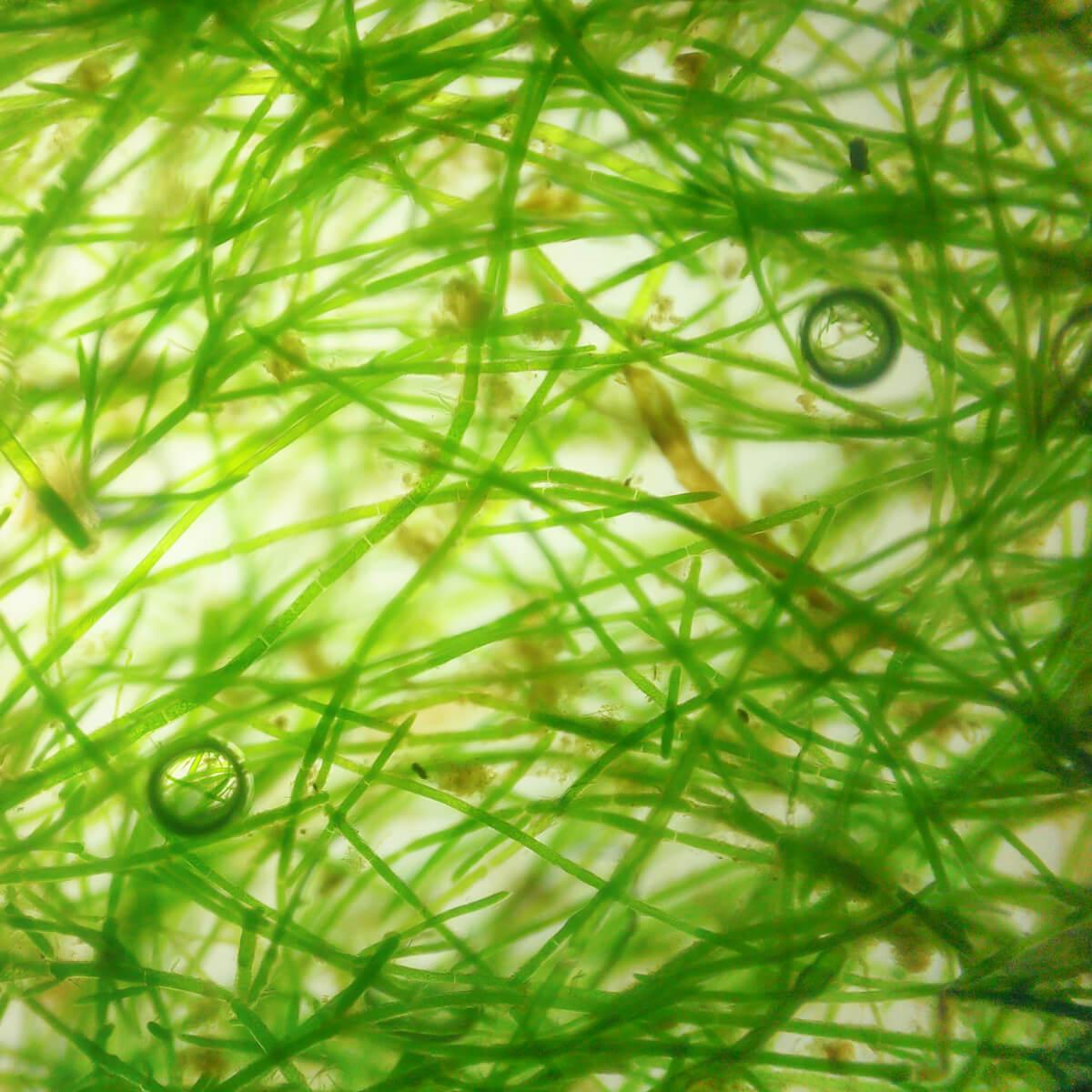 Microalgae Cultivation Area